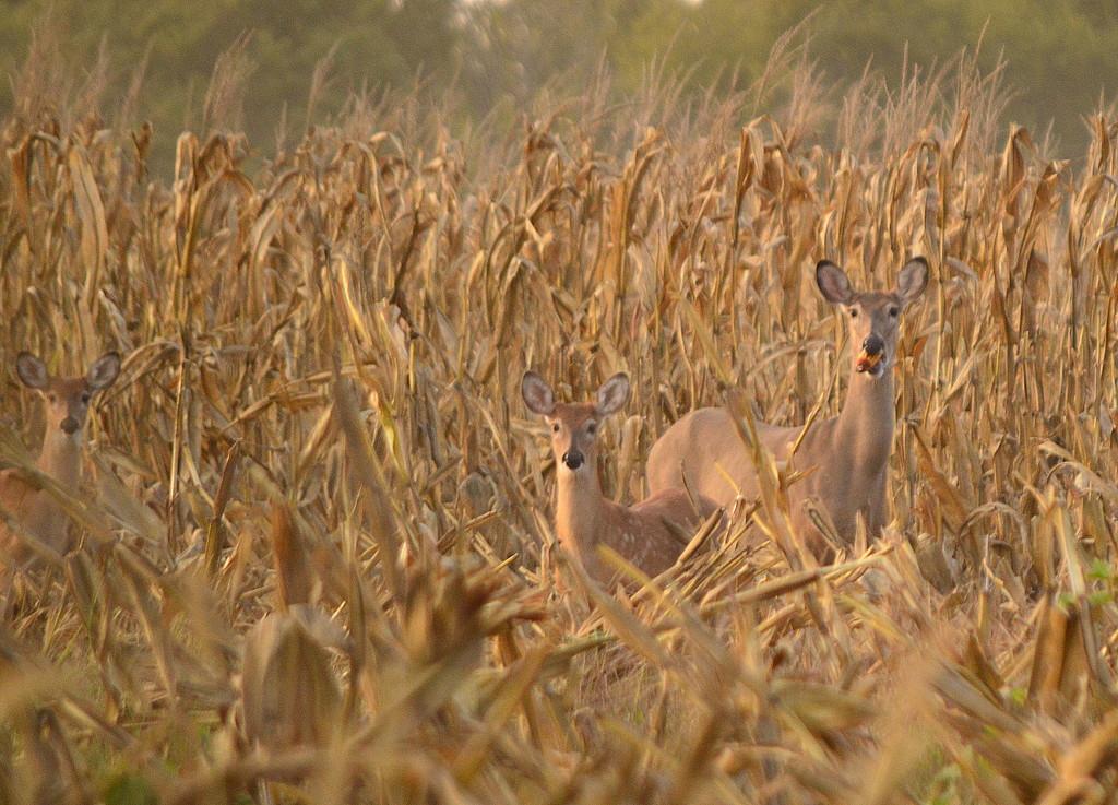Three Deer in a Cornfield by kareenking