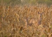 22nd Sep 2014 - Three Deer in a Cornfield