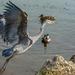 Heron by tonygig