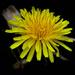 Dandelion petals by mittens