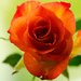 Rose by elisasaeter