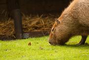 23rd Sep 2014 - Capybara