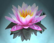 25th Sep 2014 - Floating Lotus