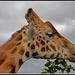 Giraffe by julzmaioro