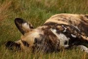 25th Sep 2014 - Lazy or Wild Dog