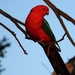 """""""King Parrot""""... by tellefella"""