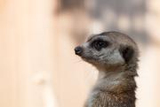 27th Sep 2014 - Meerkat