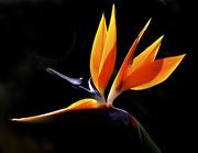 26th Sep 2014 - Bird Of Paradise
