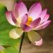 Lotus by joysfocus