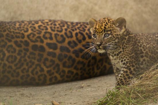 Sri Lankan Leopard Cub by leonbuys83