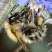 Bee on borage - 28-09 by barrowlane