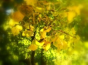 21st Oct 2010 - Leaves of Gold