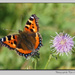 Small Tortoiseshell Butterfly by pcoulson