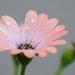 Wet Daisy by salza