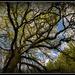 Oak tree... by julzmaioro