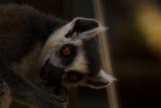 30th Sep 2014 - Ring-Tailed Lemur