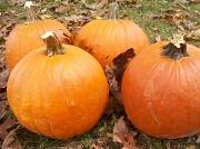 18th Oct 2010 - Pumpkins