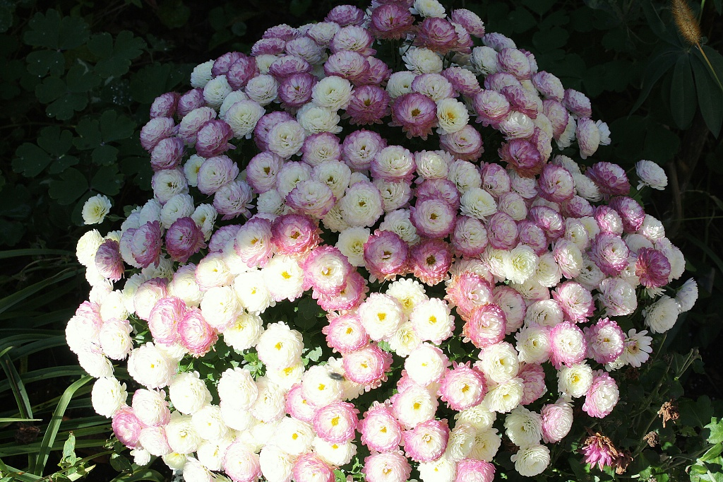 Button Mums by bruni