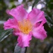 One of the first camellias at Magnolia Gardens.  The garden has extensive and ancient plantings of this most beautiful fall and winter blooming flowering shrub.  I can't wait until they are flowering in abundance.   by congaree