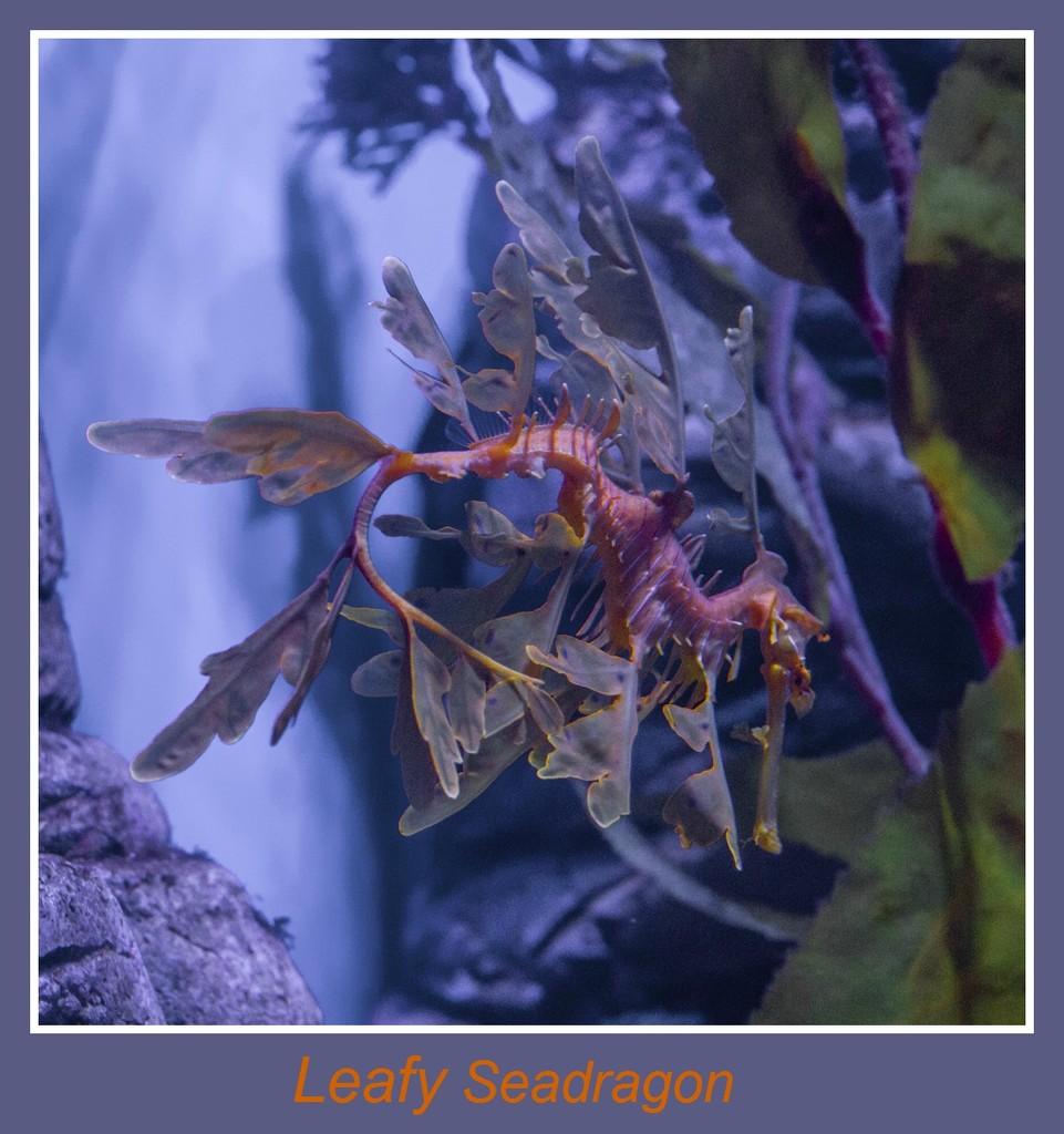 Leafy Seadragon by gosia