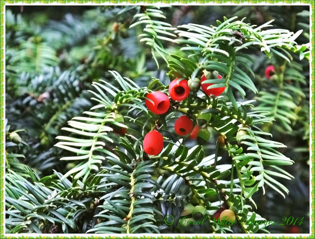 Berries by carolmw