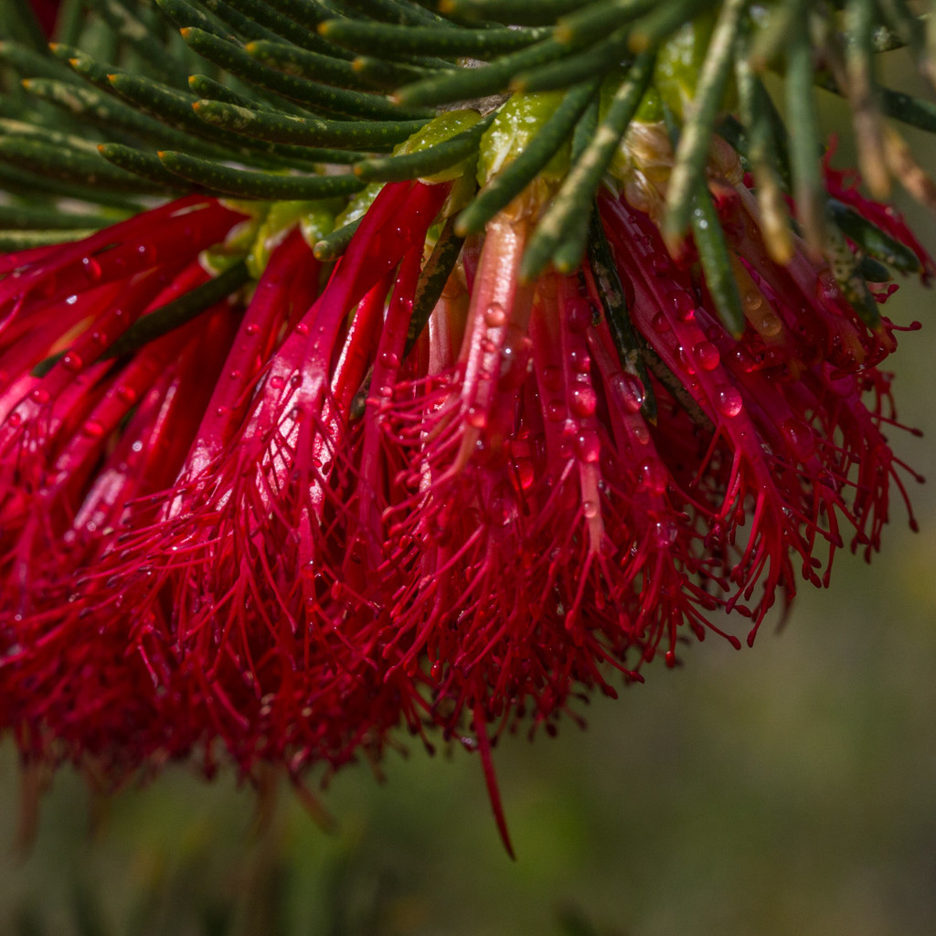 One-sided Bottlebrush by gosia