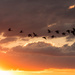 Cove Beach geese by shesnapped