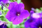4th Oct 2014 - Purple Flower