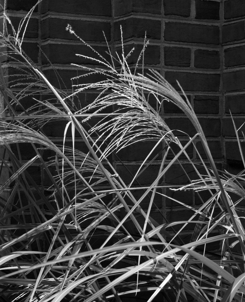 Ornamental grass by mittens