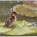 Water off the ducks back by rustymonkey