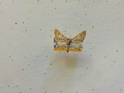 5th Oct 2014 - A moth named after my friend