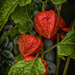 October in the Garden (1): Chinese Lanterns (Physalis) by ivan