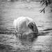 Swan - 7-10 by barrowlane