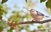 7th Oct 2014 - Nimble the Nuthatch