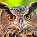 Eagle Owl by joysfocus