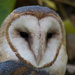 Barn Owl Portrait by khrunner