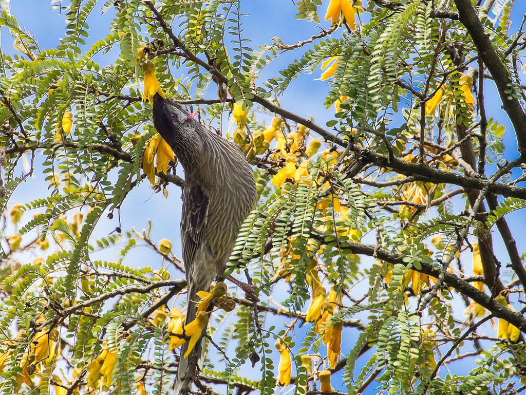 Wattlebird in Kowhai Tree by ethelperry