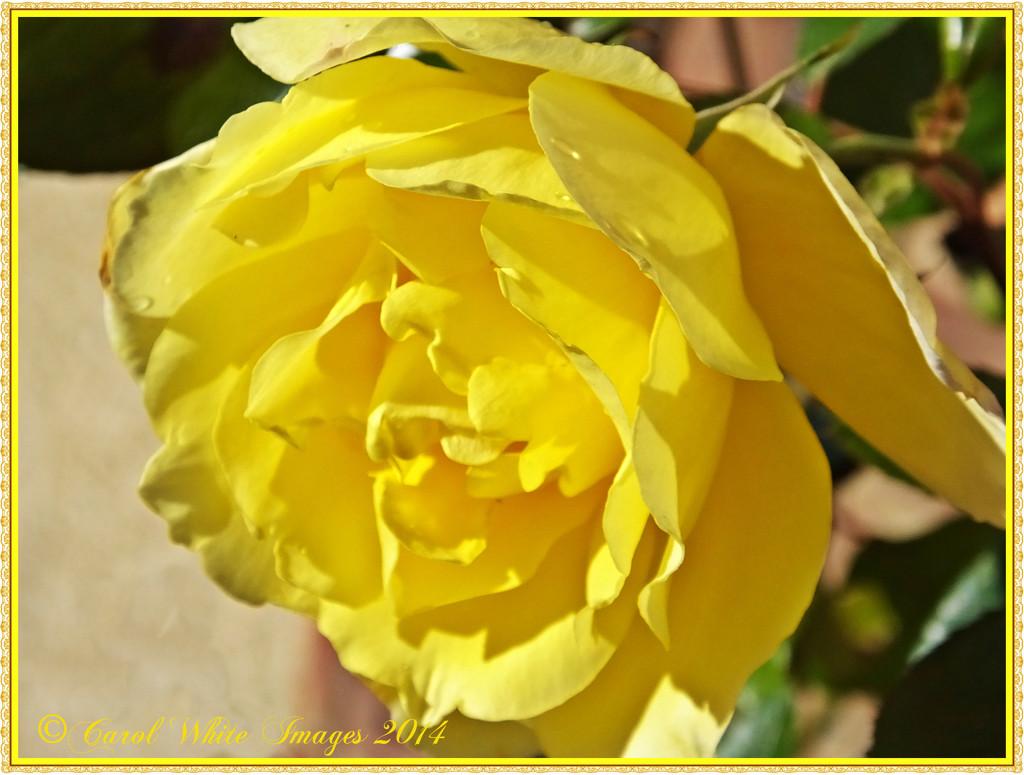 Rambling Rose by carolmw