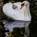 Reflective swan - 10-10 by barrowlane