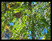10th Oct 2014 - Butterfly