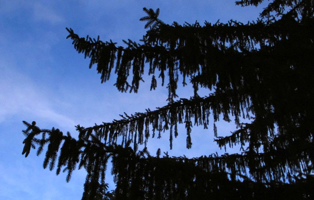 Draping pine tree by mittens