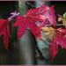 October in the Garden (2): Liquidamber styraciflua aka 'Ambrose' by ivan
