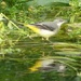 Yellow Wagtail on the River Frome by susiemc