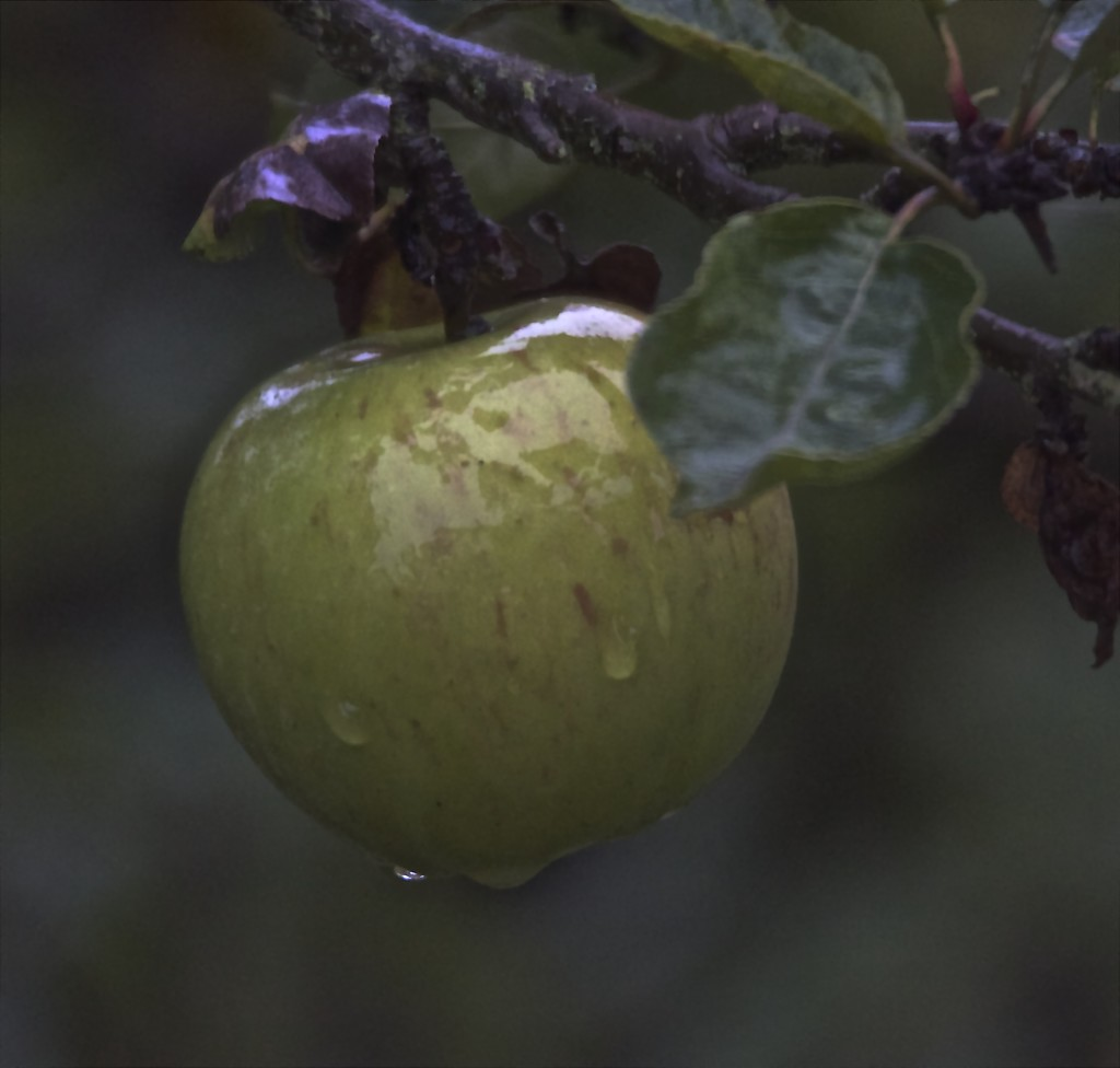 Really wet lonely apple by padlock