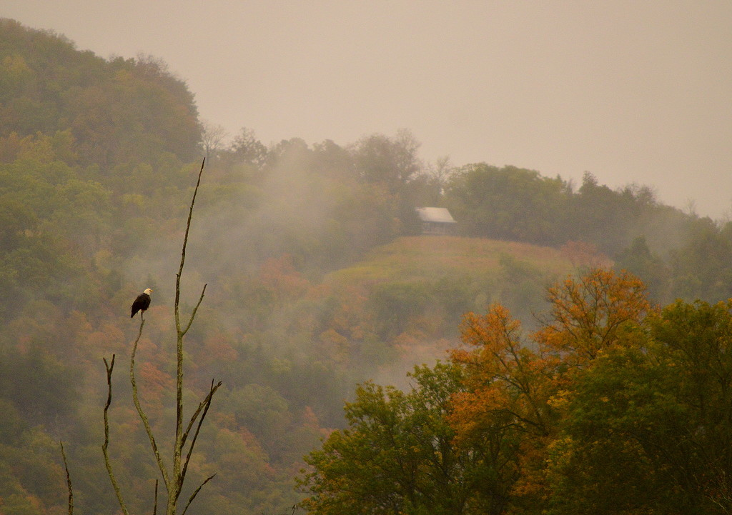Eagle in the Ozarks by kareenking