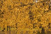 11th Oct 2014 - Golden flow