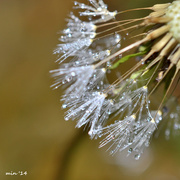 13th Oct 2014 - Dazzling Dandelion