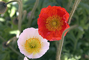 14th Oct 2014 - Poppies