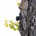 Squirrel in the Poplar Tree