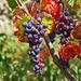 Raisins on the Vine by vickisfotos